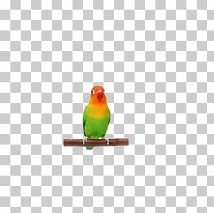 Lovebird Finch Parakeet Beak Feather PNG