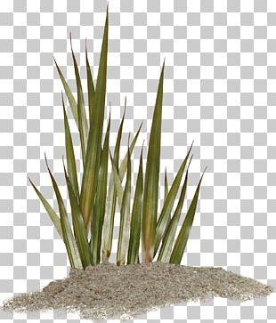 Algae Seaweed Coral Aquatic Plants PNG
