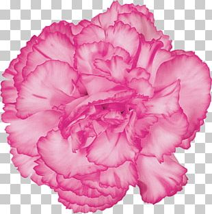 Carnation Cut Flowers Pink Flowers PNG