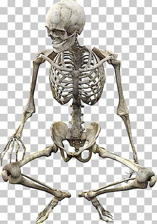 Vertebrate Human Skeleton Bone Anatomy PNG