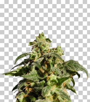 Skunk Kush Cannabis Sativa Autoflowering Cannabis PNG