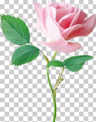 Garden Roses Pink Centifolia Roses Flower PNG