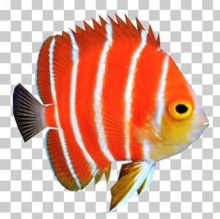 Peppermint Angelfish Coral Reef Fish PNG