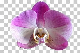 Beautiful Orchids Flower Moth Orchids PNG