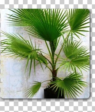 Arecaceae Plant Areca Palm Tree Washingtonia PNG
