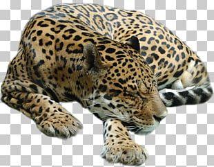 Cheetah Leopard Tiger Cat PNG