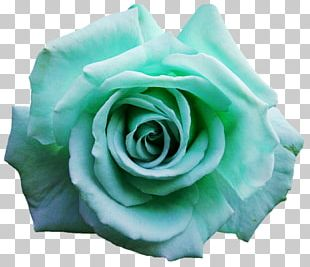 Garden Roses Blue Rose Cabbage Rose Cut Flowers PNG