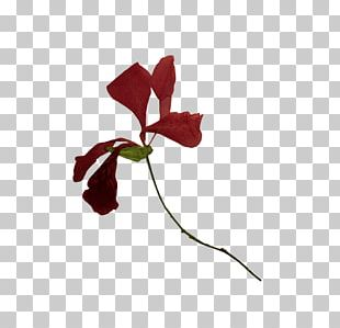 Petal Rose Family Cut Flowers Plant Stem Leaf PNG