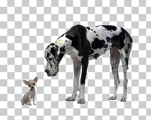 Great Dane Chihuahua Puppy Cat Food Dog Food PNG