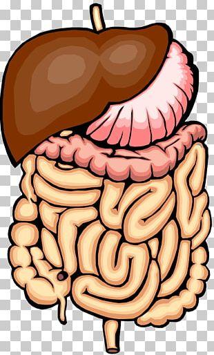 Gastrointestinal Tract Small Intestine Large Intestine PNG