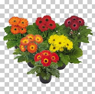Transvaal Daisy Cut Flowers Floral Design Flower Bouquet PNG