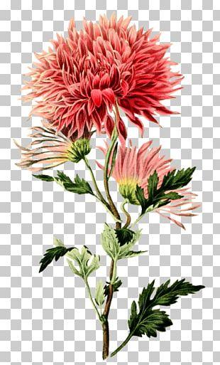 Chrysanthemum ×grandiflorum Botanical Illustration Botany Flower PNG