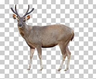 Red Deer Sika Deer Chital Stock Photography PNG