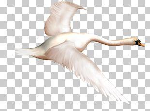 Duck Mute Swan Bird Goose PNG