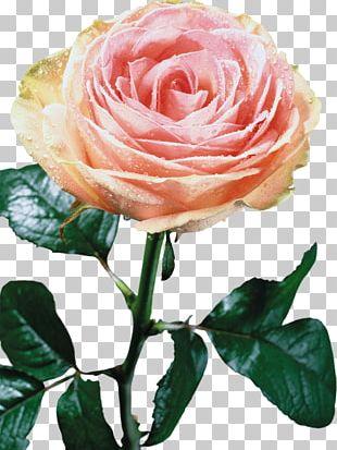 Beach Rose Flower Lilium PNG