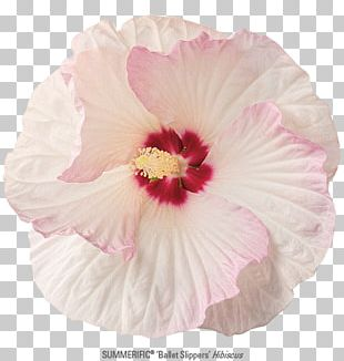 Rosemallows Rose Family Petal Pink M PNG