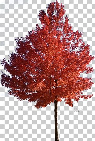 Red Maple Japanese Maple Sugar Maple Tree PNG