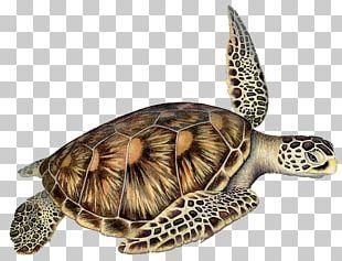 Box Turtles Loggerhead Sea Turtle Reptile PNG
