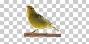 Atlantic Canary Passerine Saffron Finch Pet Shop Singing PNG