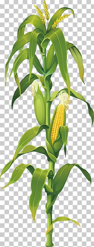 Maize Corn On The Cob Drawing Plant PNG