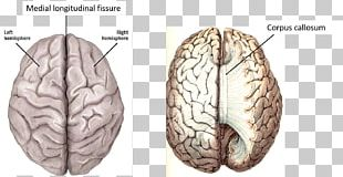 Cerebral Hemisphere Lateralization Of Brain Function Human Brain Cerebral Cortex PNG