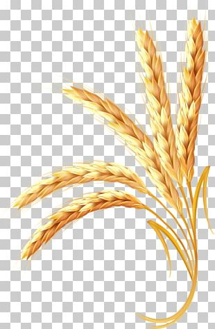 Wheat Adobe Illustrator Ear PNG