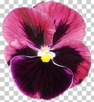 Pansy Violet Annual Plant PNG