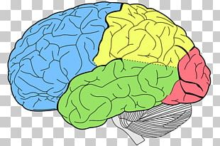 Lobes Of The Brain Occipital Lobe Frontal Lobe Cerebral Cortex PNG
