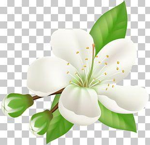 Cherry Blossom Flower Petal Paper PNG