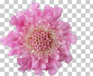 Pink Flowers Pink Flowers Chrysanthemum Rose PNG