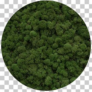 Reindeer Lichen Moss Yagel Plants Green PNG