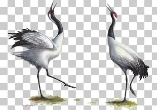 Red-crowned Crane Bird Grey Crowned Crane Endangered Species PNG