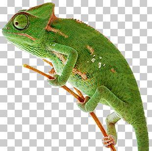 Chameleons Lizard Reptile Animal Zurück In Die Ewigkeit PNG