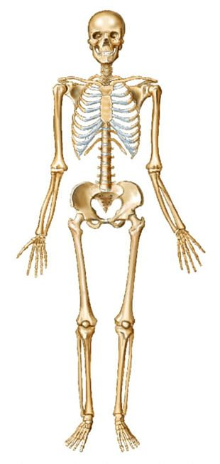 Human Skeleton Bone Human Body Joint PNG