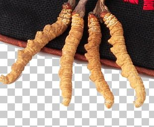 Traditional Chinese Medicine Caterpillar Fungus Crude Drug PNG