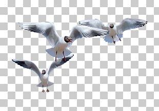 European Herring Gull Common Gull Bird Flight Gulls PNG