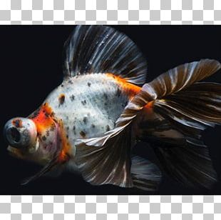 Koi Telescope Butterfly Tail Common Goldfish Fantail PNG