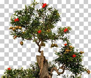Bonsai Tree Pomegranate Fruit Root PNG