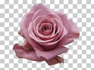Garden Roses Cabbage Rose Pink Cut Flowers PNG
