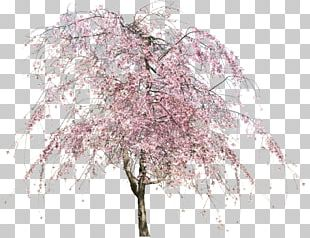 Cherry Blossom Tree PNG