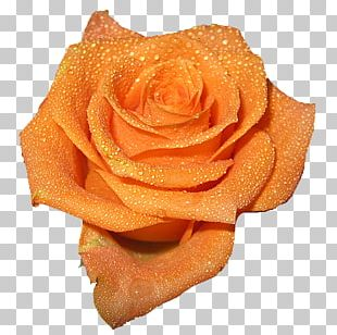 Computer Icons Rose Orange Peach Flower PNG
