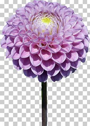 Flower Dahlia PaintShop Pro PNG