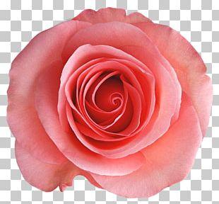 Rosa Chinensis Garden Roses Centifolia Roses Flower PNG