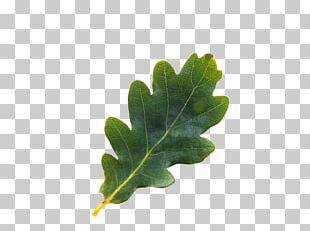 English Oak Tree Northern Red Oak Acorn Leaf PNG