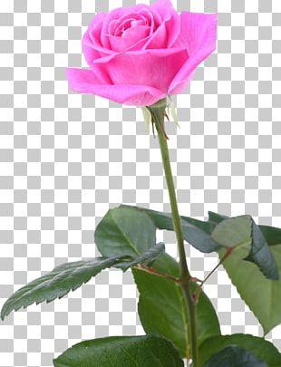 Garden Roses Cabbage Rose China Rose Floribunda Still Life: Pink Roses PNG