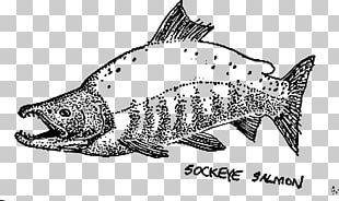 Sockeye Salmon Drawing Chum Salmon Fish PNG