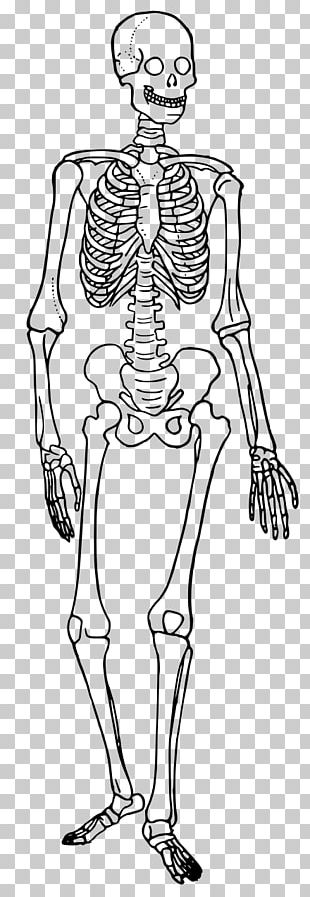Human Skeleton Human Body Diagram Bone PNG