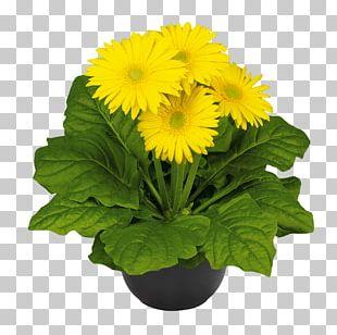 Transvaal Daisy Chrysanthemum Cut Flowers Plant Carnation PNG