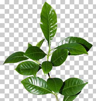 Leaflet Tree Plant PNG