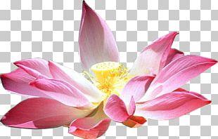 Nelumbo Nucifera Flower Lotus Cars Petal PNG